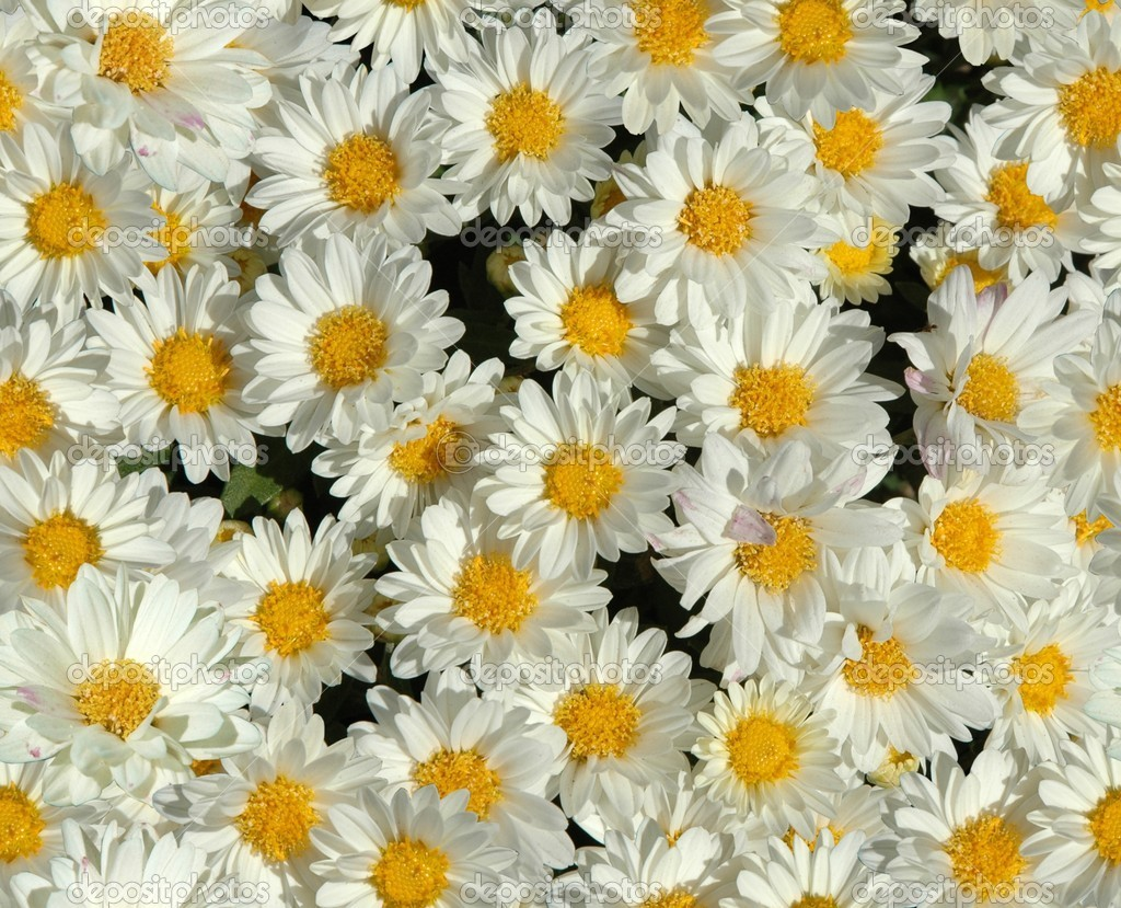 Daisy wallpaper Stock Photo Darla Hallmark 1024x829