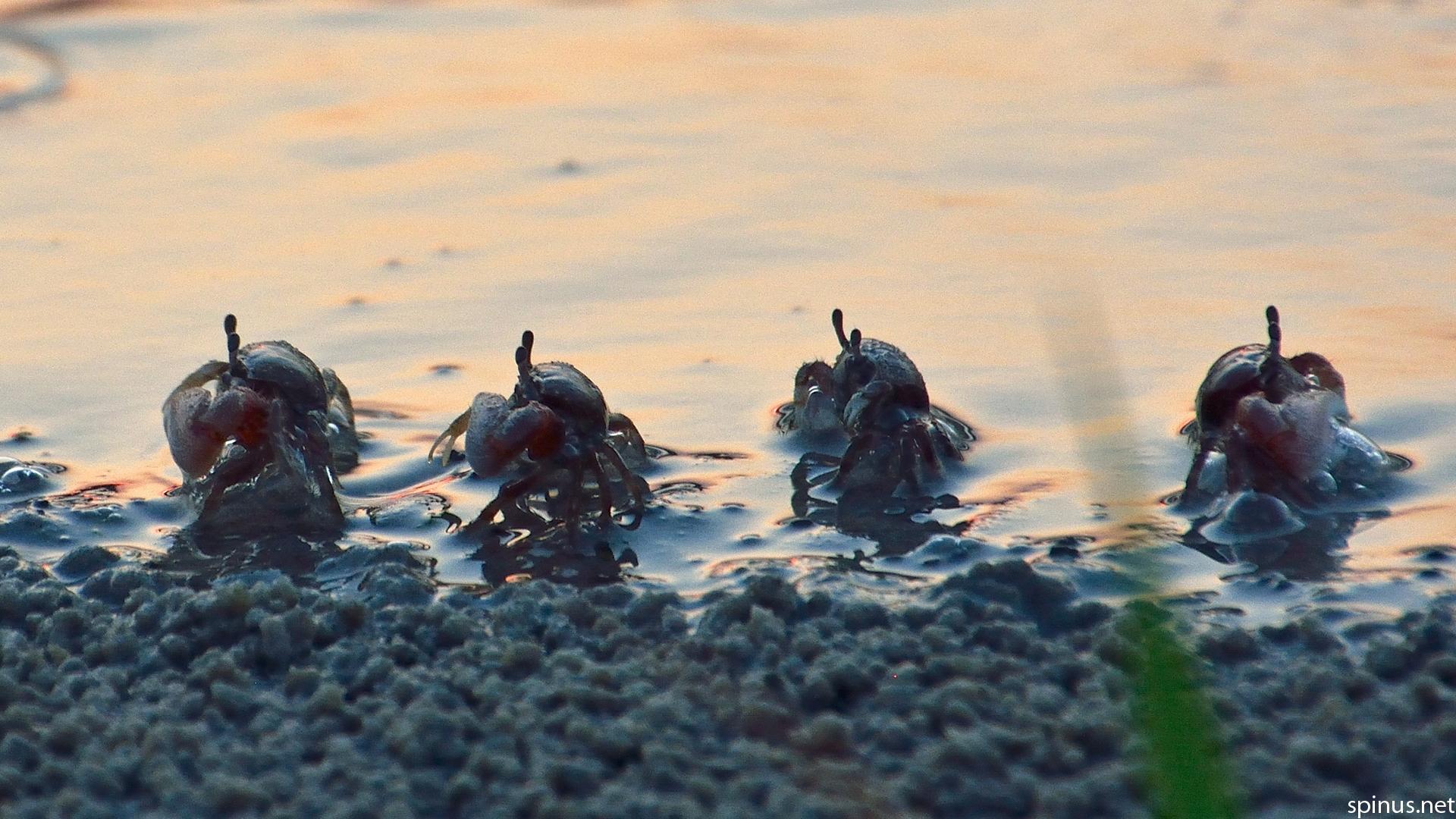 Atlantic marsh fiddler crab Uca pugnax Spinus Nature Photography 1920x1080