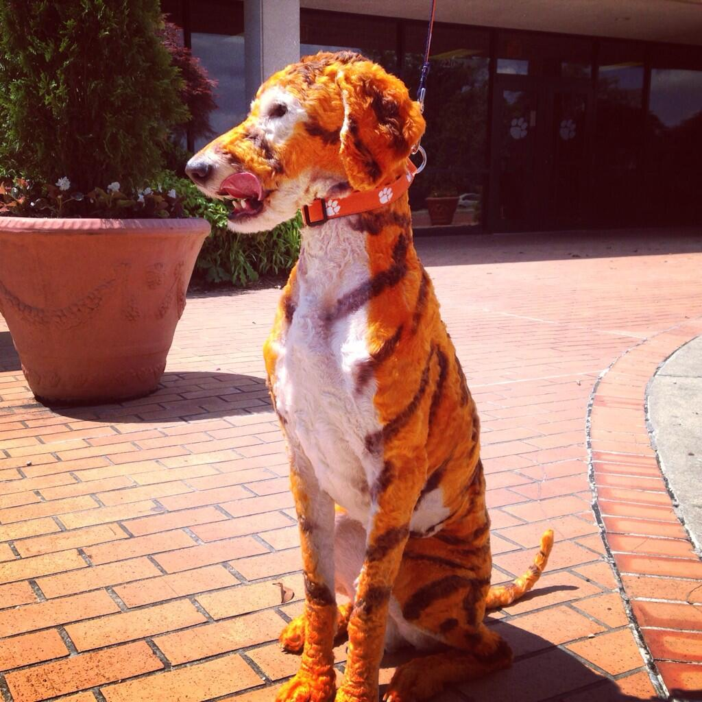 Clemson Dog Is A Tiger At Fur Level 1024x1024