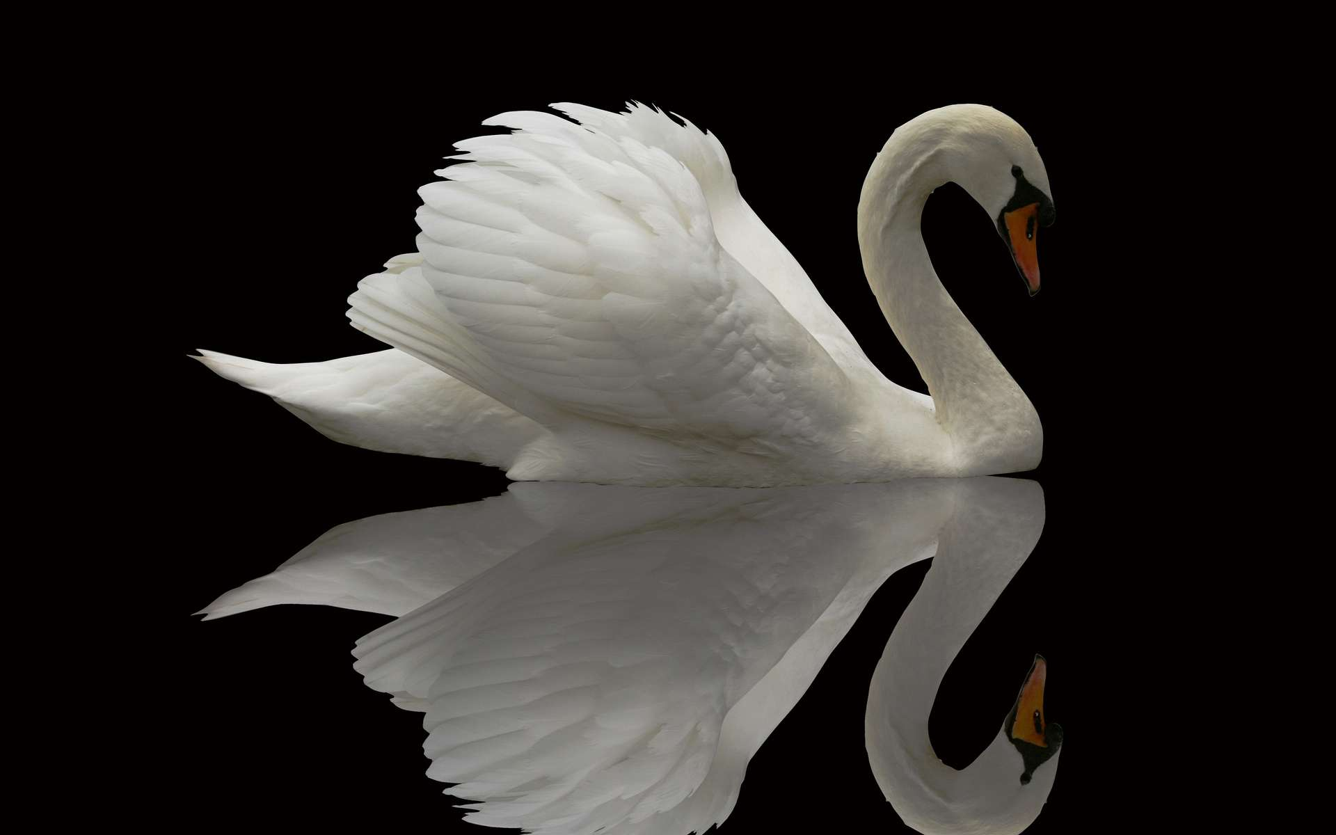 Swan Wallpapers 1920x1200