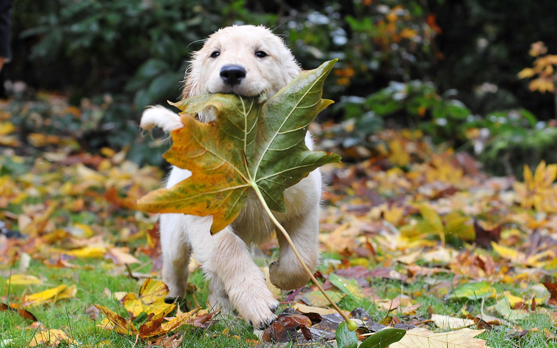 Puppy animal autumn dog leaf puppy 1920x1200