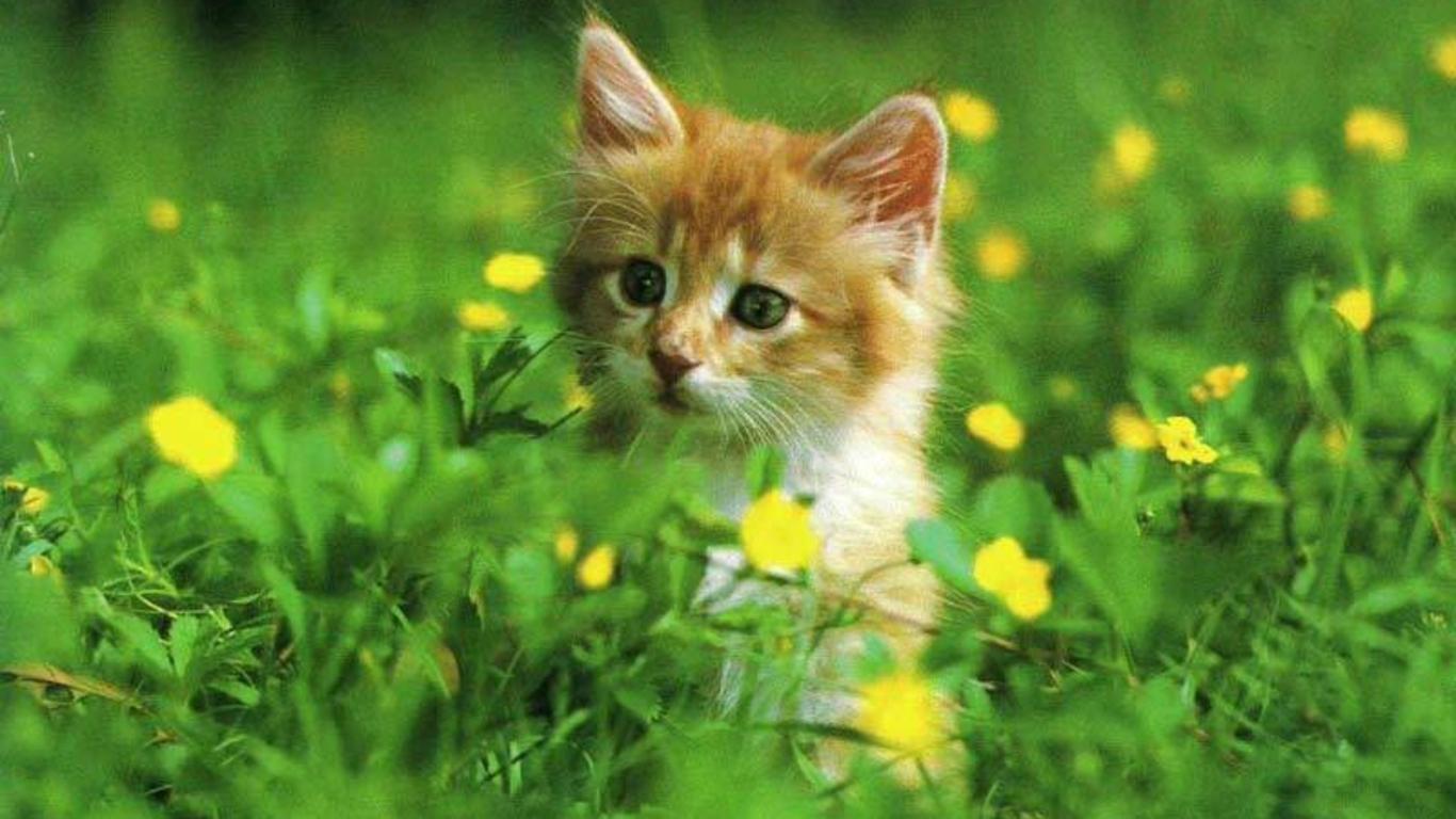 Free cat wallpapers for desktop wallpapersafari - Free wallpaper of kittens ...