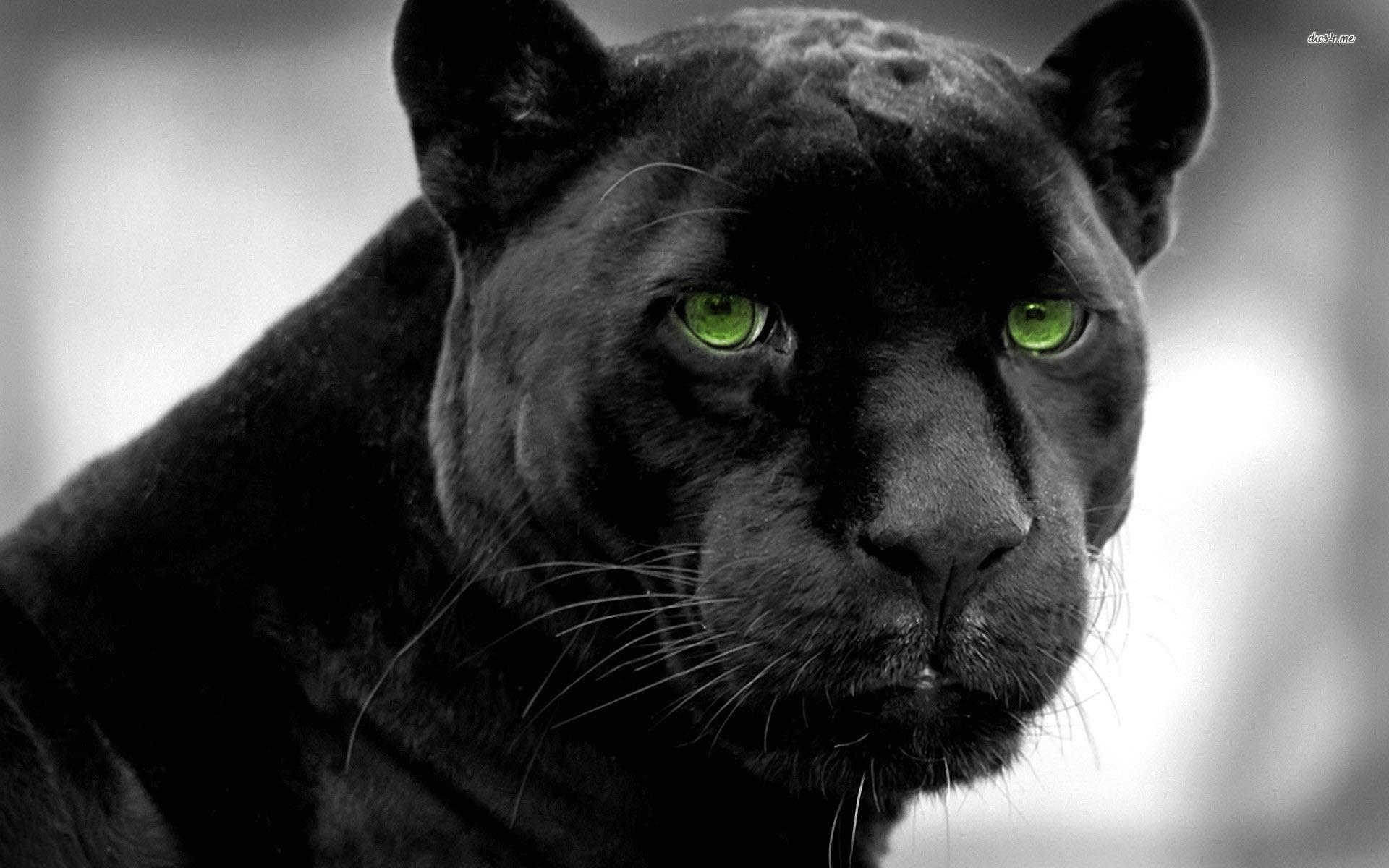Wallpaper Black Panther   1920 x 1200   Animals Pets 1920x1200