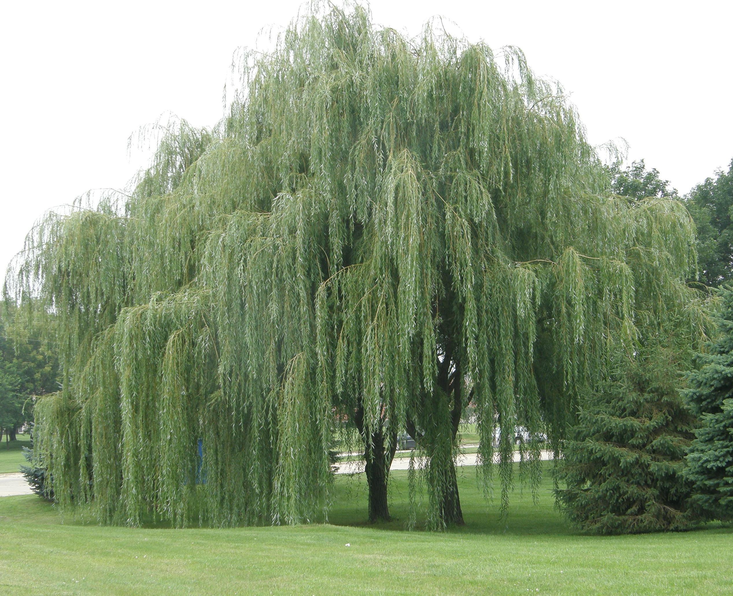 Willow Tree 2535x2059