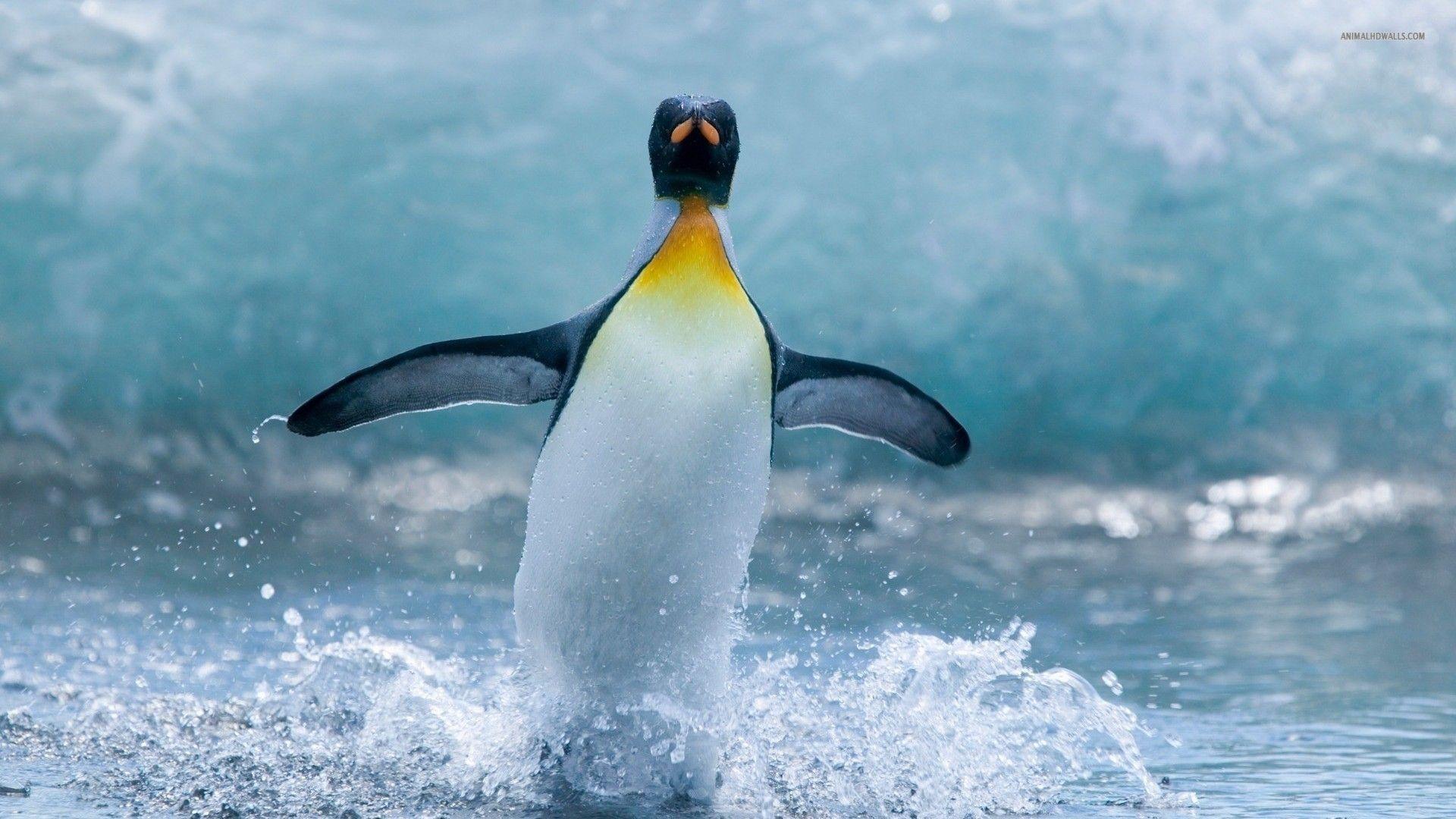 penguin 776 1920x1080 Penguin Wallpaper Penguins Animals 1920x1080