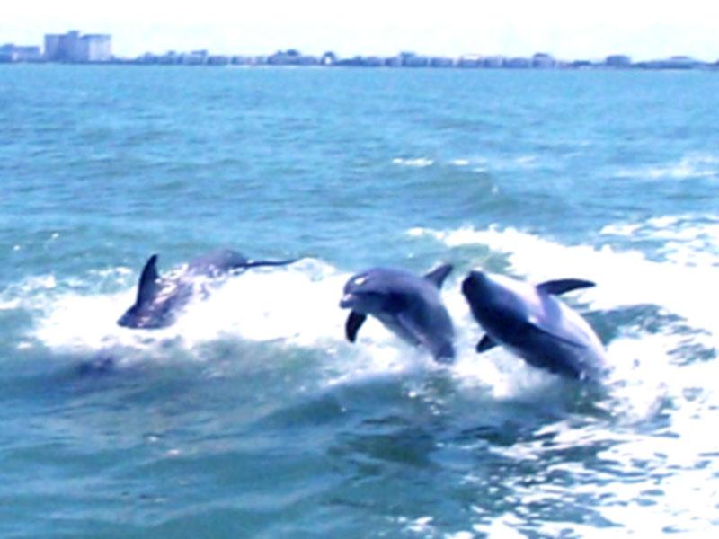 3d art 3d digital dolphins desktop wallpaper gallery 3d art 3d 800x600