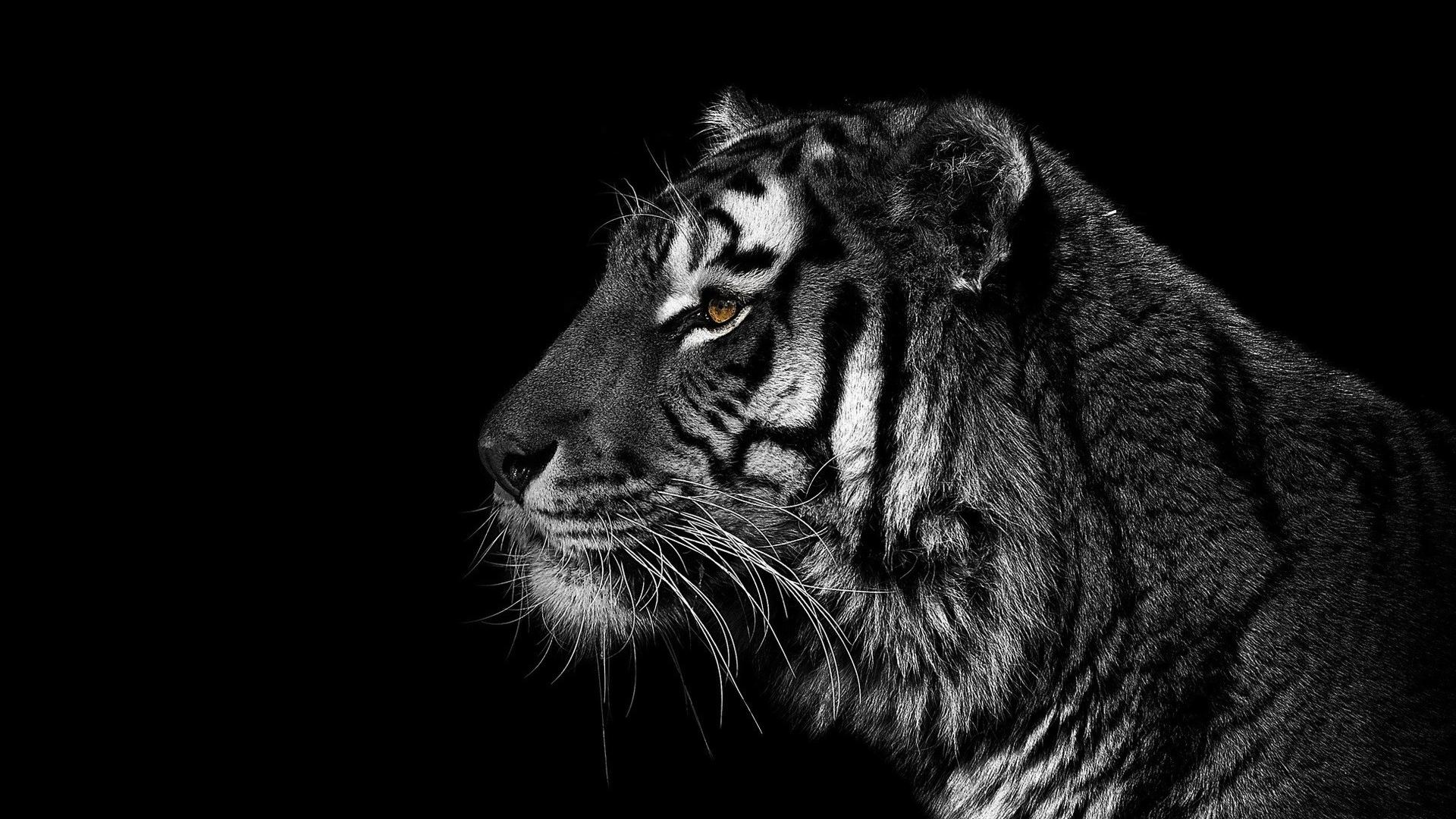 download Black and white animals tigers wallpaper 82288 1920x1080