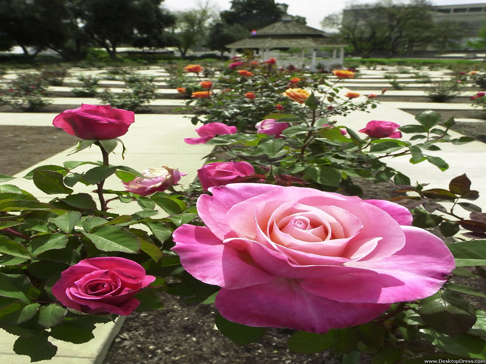 42+ Rose Garden Wallpaper Desktops on WallpaperSafari
