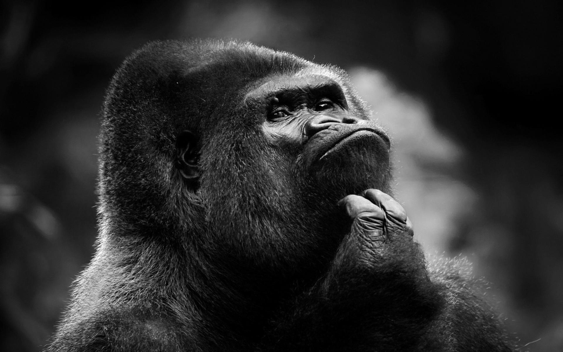 Tiere   Gorilla Wallpaper 1920x1200