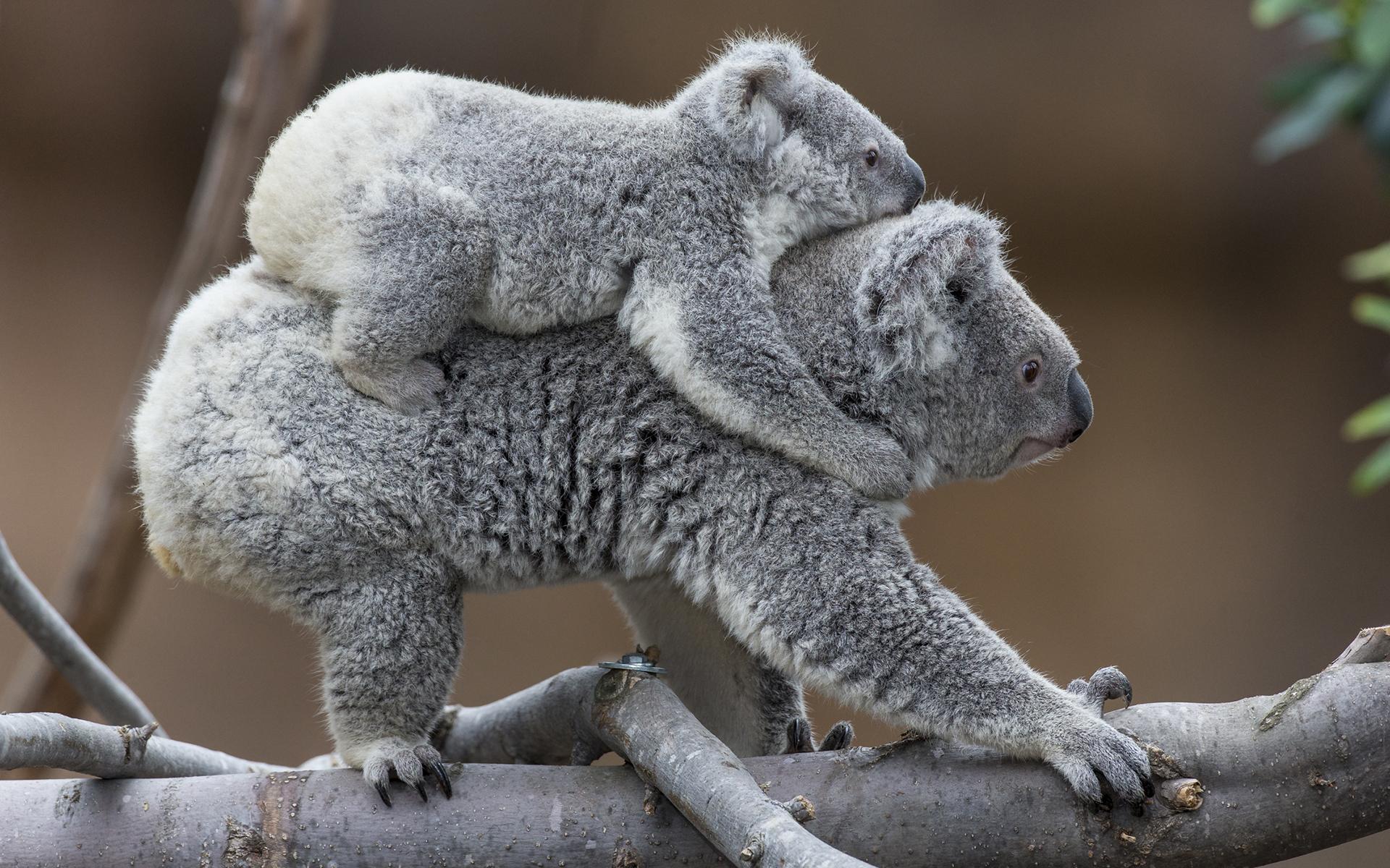 Koala baby h wallpaper 1920x1200 195978 WallpaperUP 1920x1200