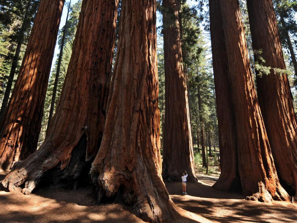 Sequoia national park california HQ WALLPAPER   153012 1024x768