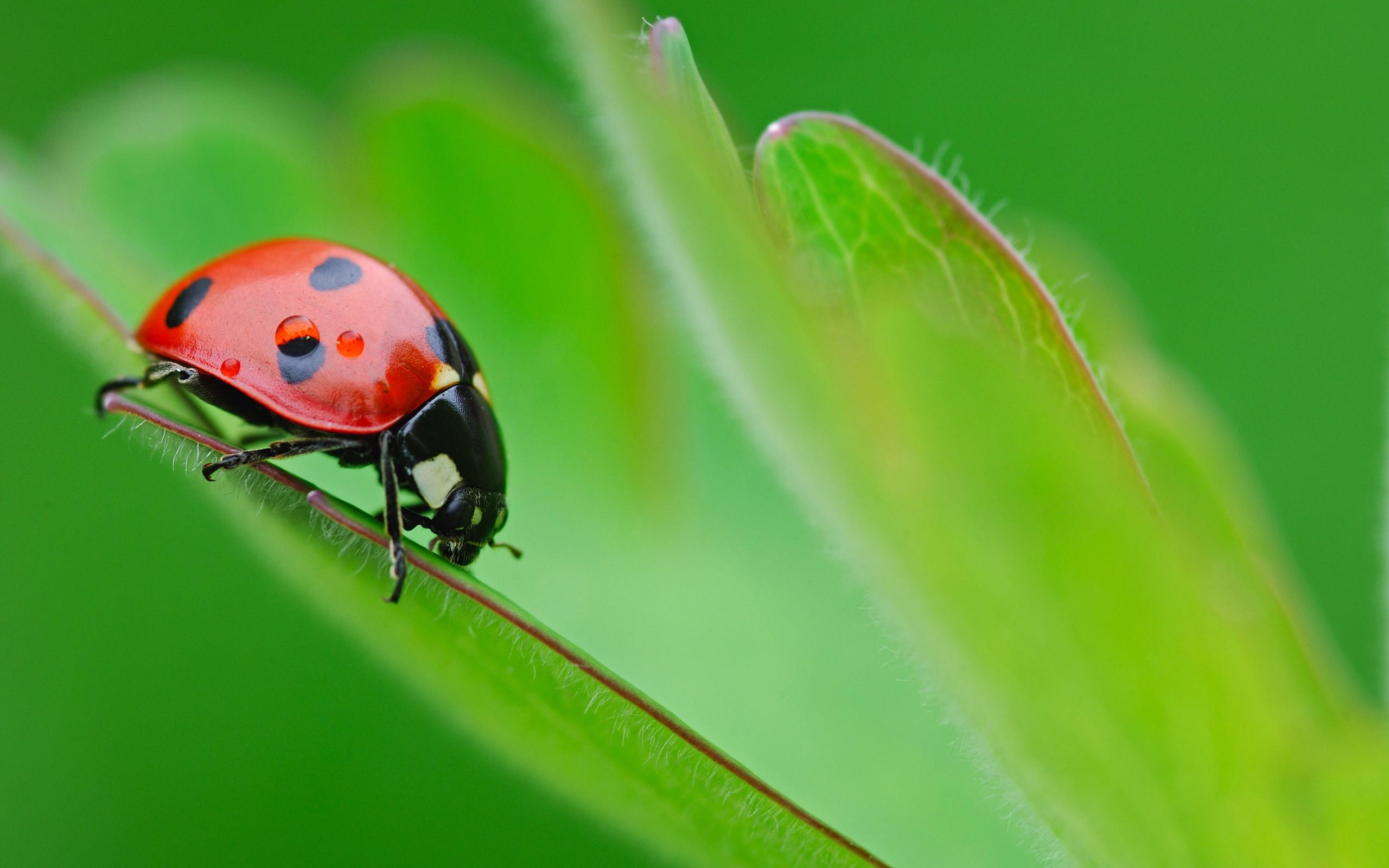 2560 x 1600 Wide Wallpapers Photos Desktop Wallpaper wp Ladybug on 2560x1600