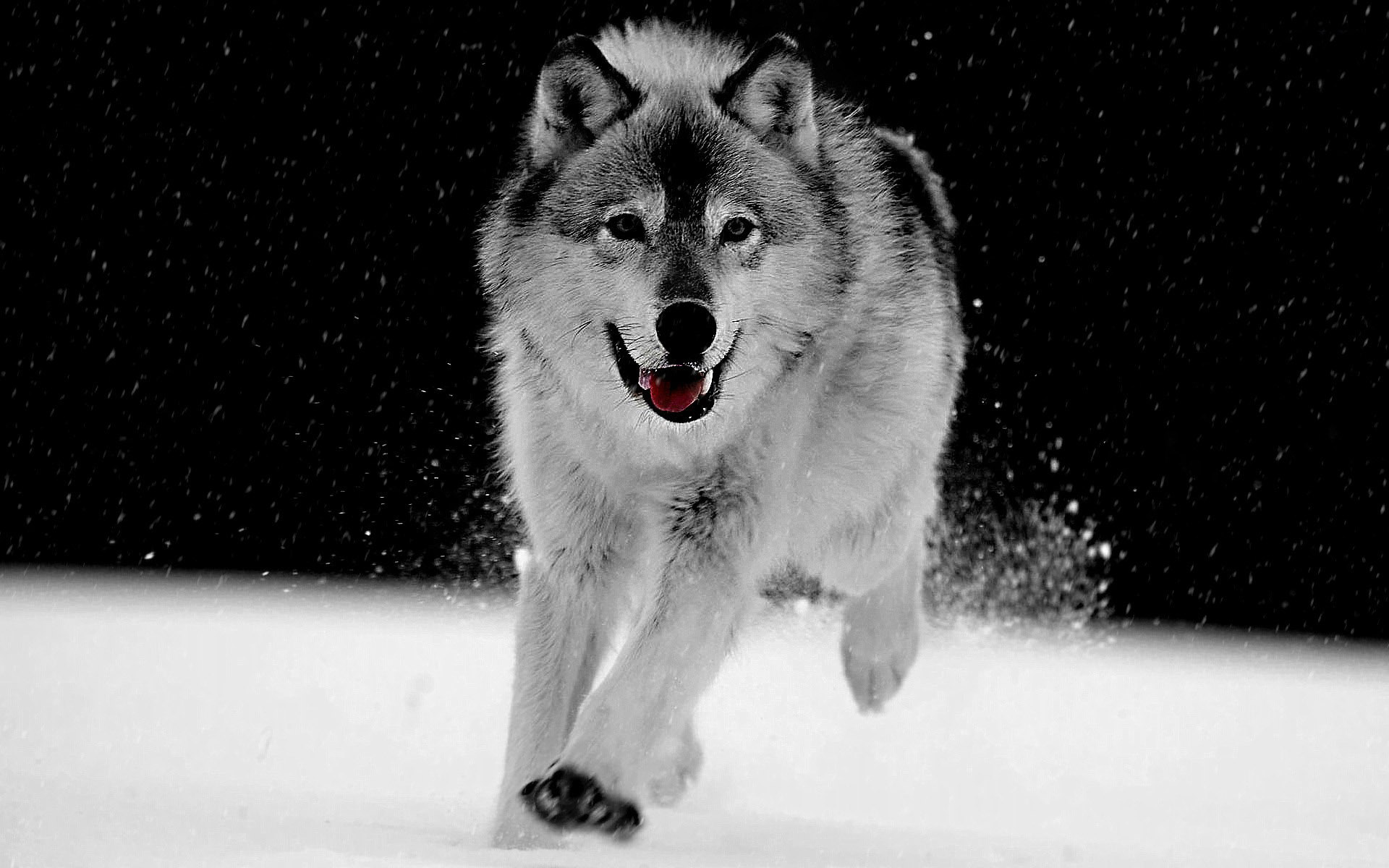Big Wolf Gray Wallpaper 1920x1200
