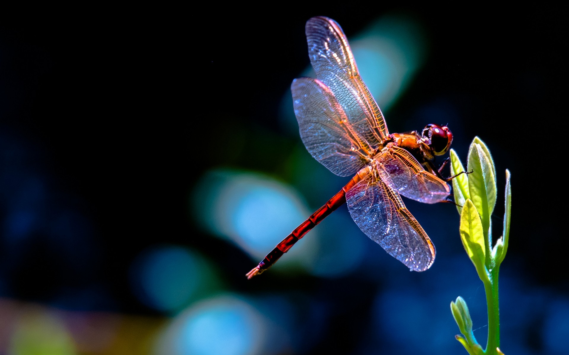Dragonfly Computer Wallpapers Desktop Backgrounds 1920x1200