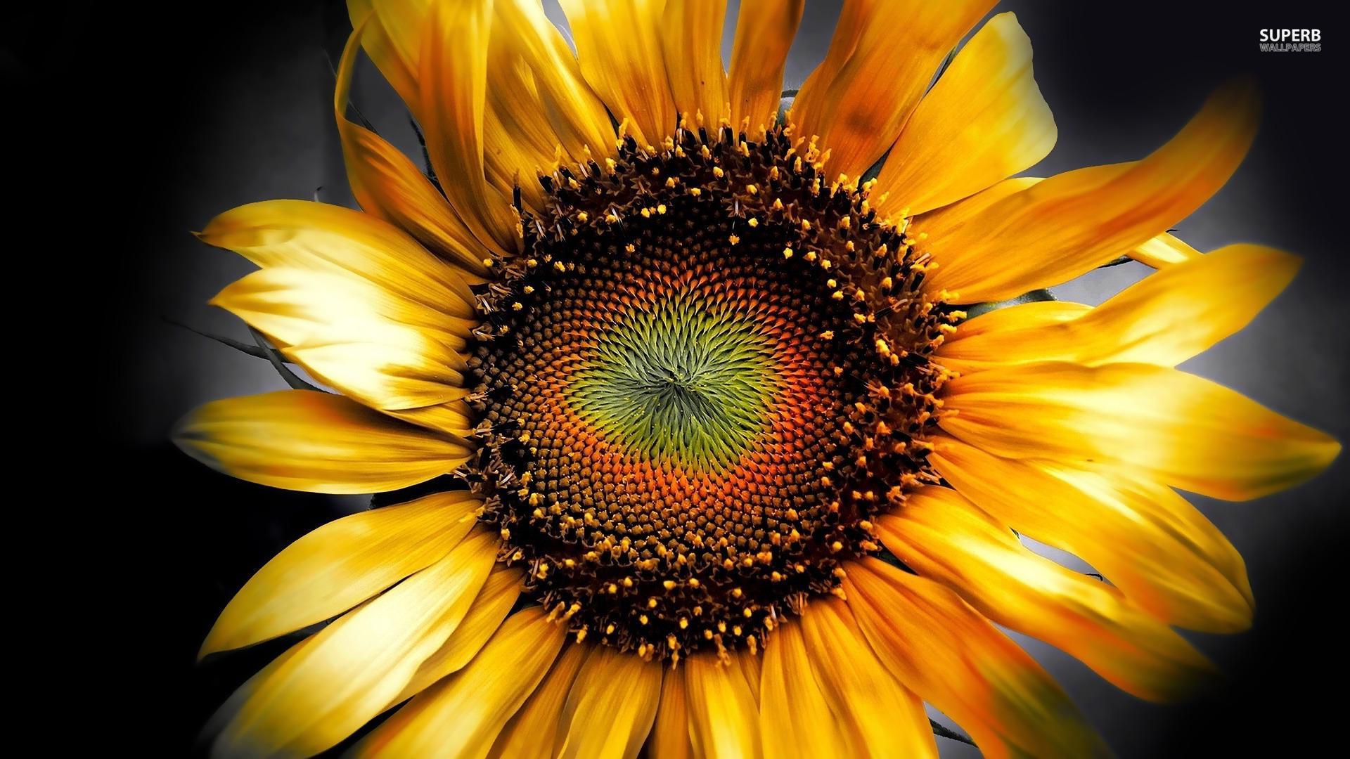 48+ Sunflower Screensaver and Wallpaper on WallpaperSafari