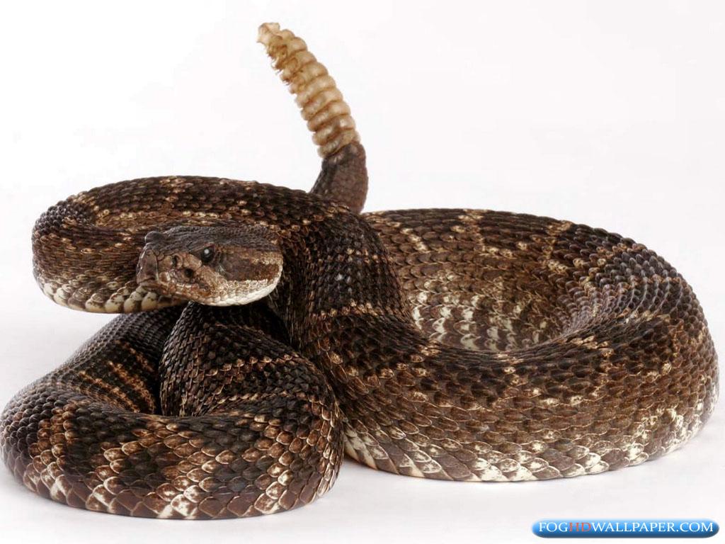 Rattle Snakes Photos Fog HD Wallpaper 1024x768