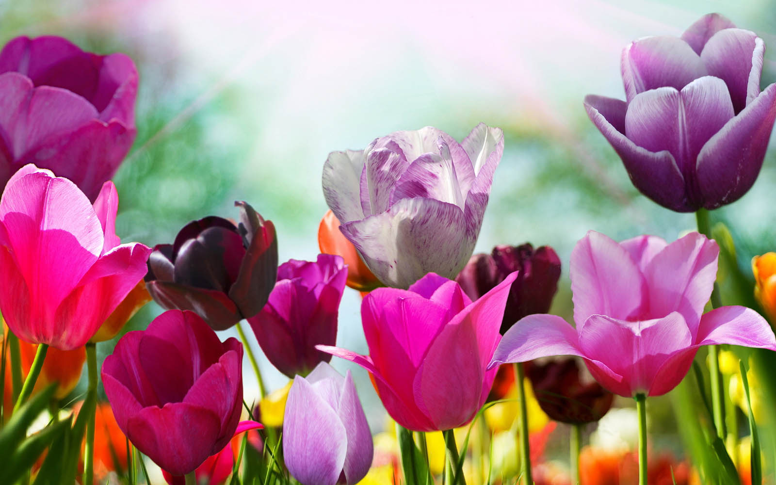 wallpapers Purple Tulips Flowers Wallpapers 1600x1000