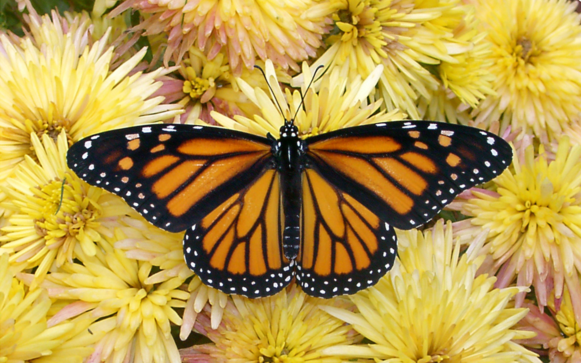 Monarch Butterfly 5 Wallpaper Wallpaper 2000x1248