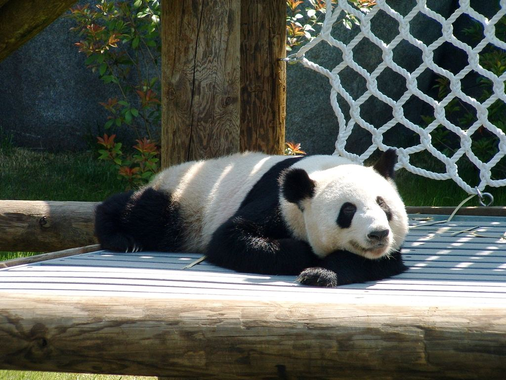 PicturesPool Beautiful Panda Bears Red PandaPolarBears 1024x768