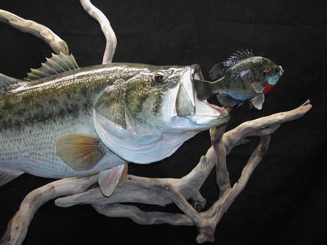 SAUGER MOUNT and LARGE MOUTH BASS Reproduction Mount   Pro Fish 640x480
