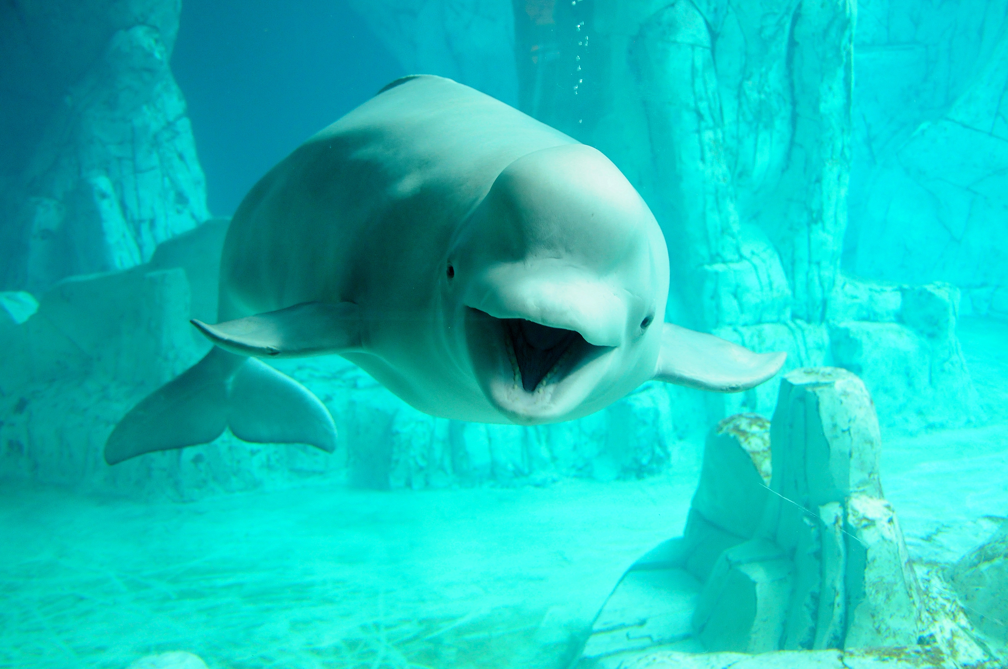Beluga Whale Wallpaper Image Group 32 4288x2848
