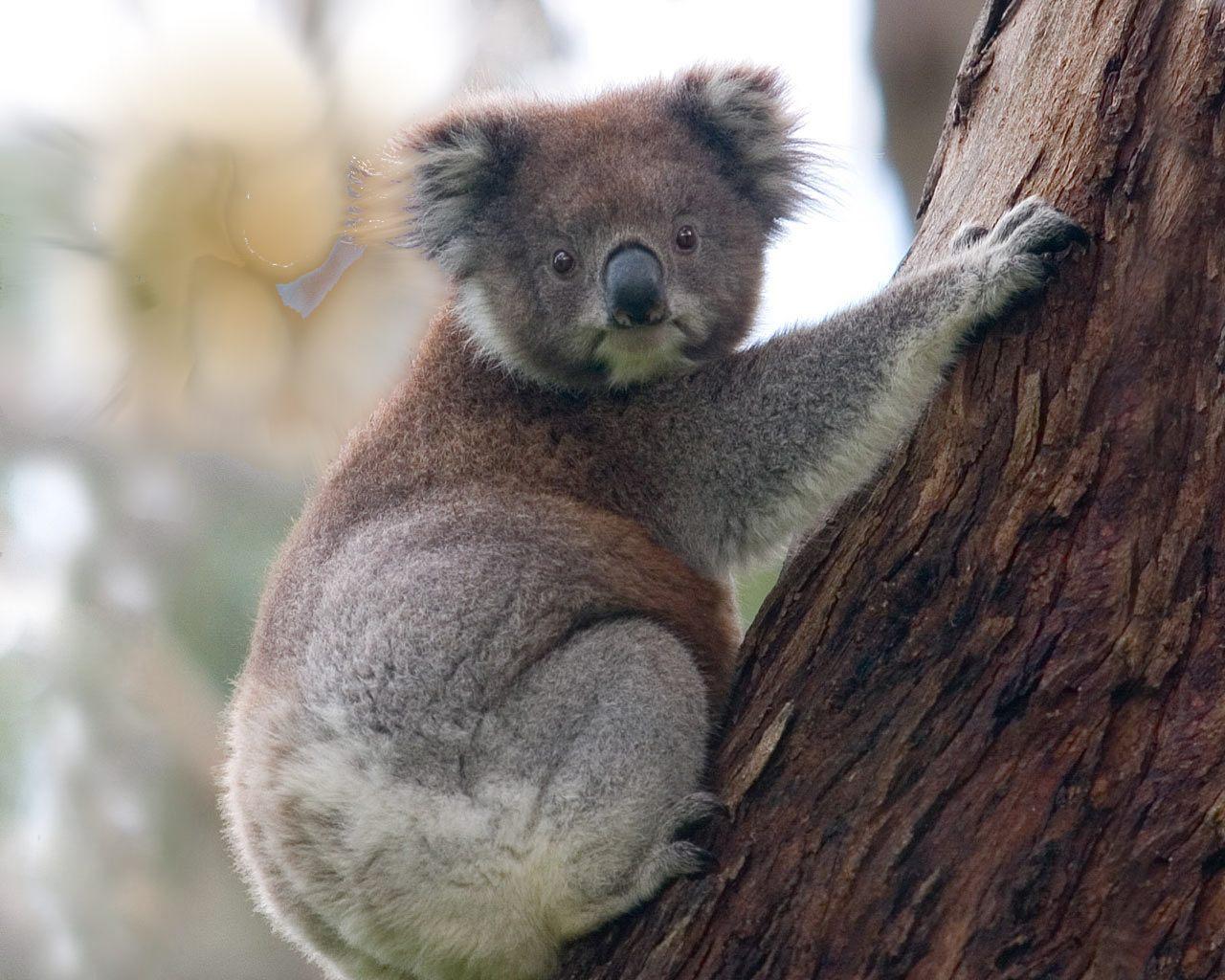 Baby Koala Climbing on tree 1280x1024