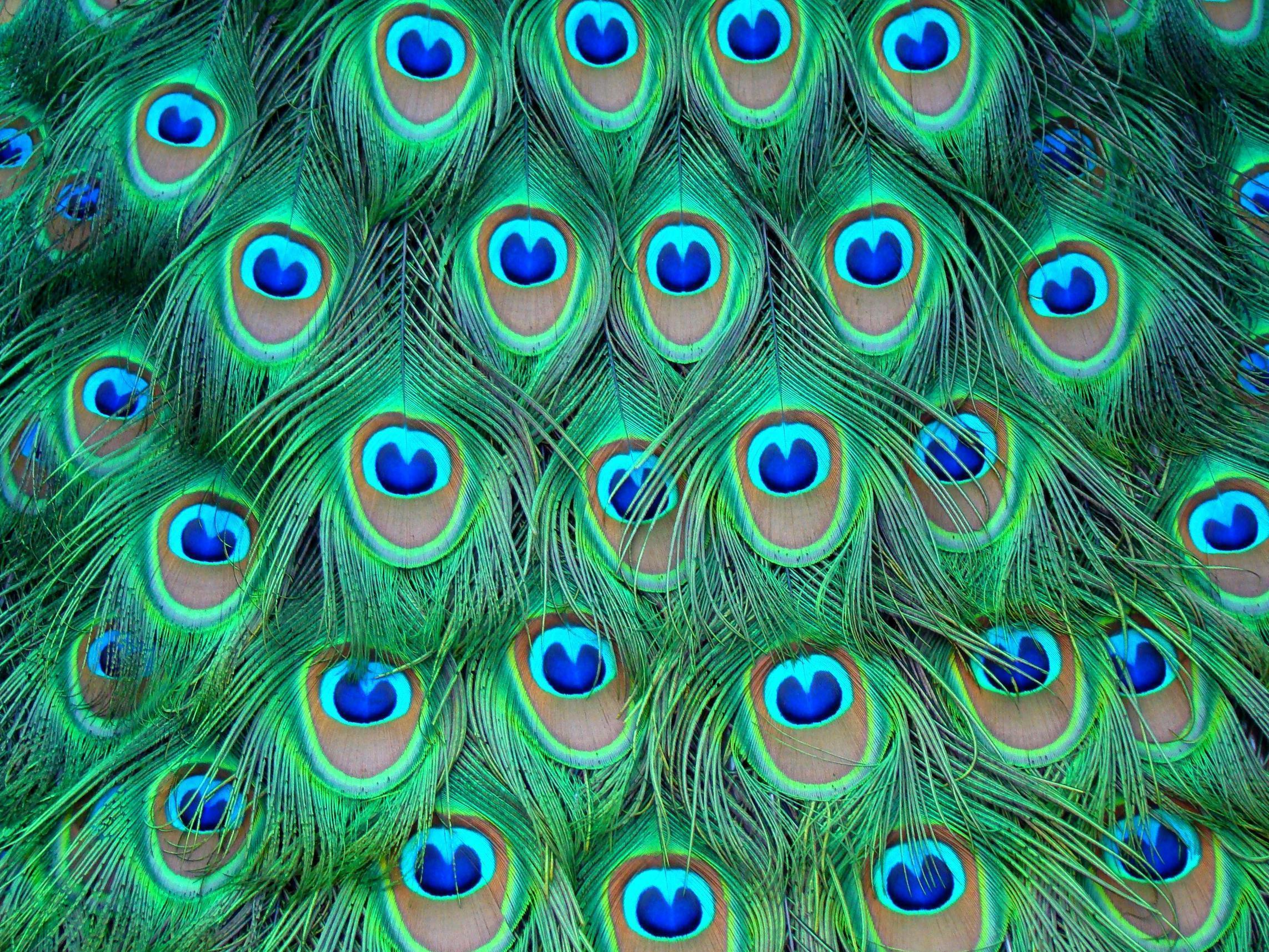Wallpapers Of Peacock Feathers HD 2015 2285x1714