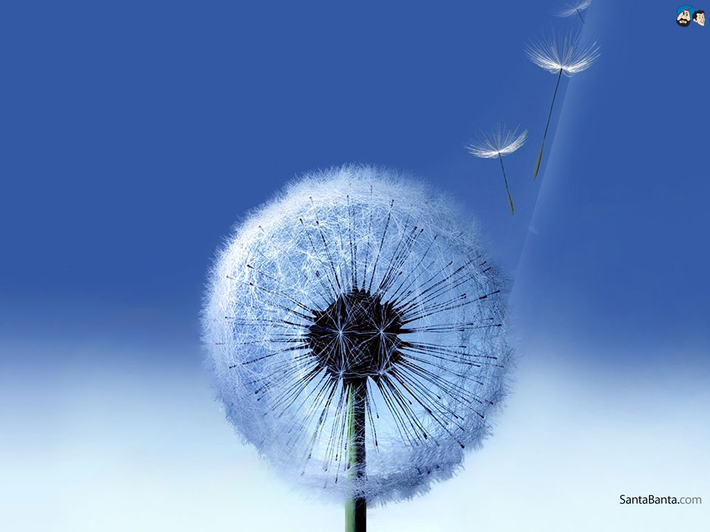 Dandelion Wallpaper #2