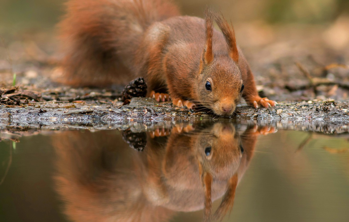 Wallpaper water nature pose reflection cute protein muzzle 1332x850