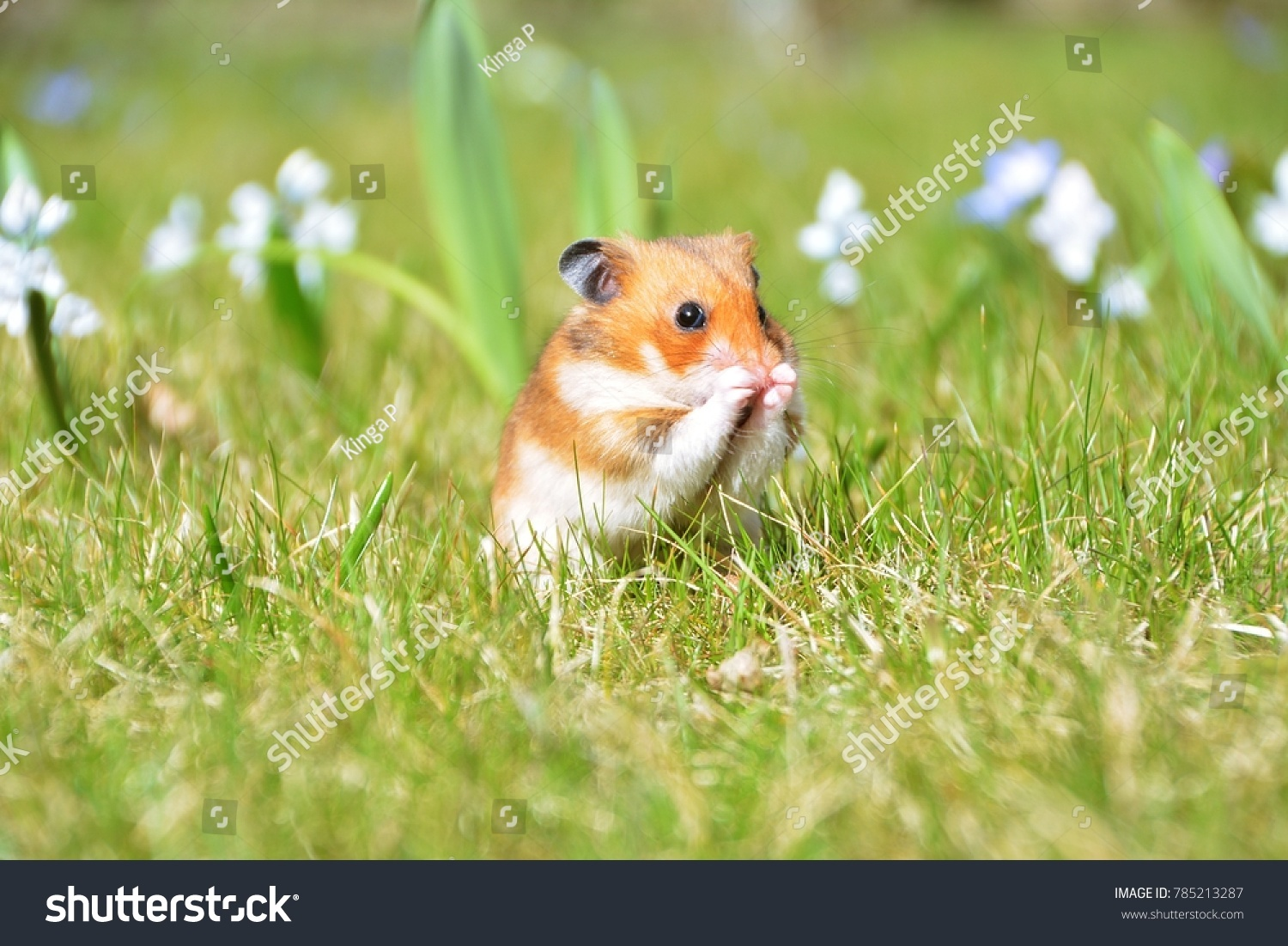 Sweet Syrian Hamster Garden On Background Stock Photo Edit Now 1500x1101