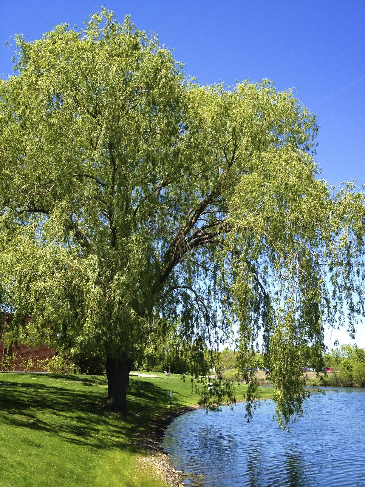 Willow Tree Wallpaper Wallpapersafari