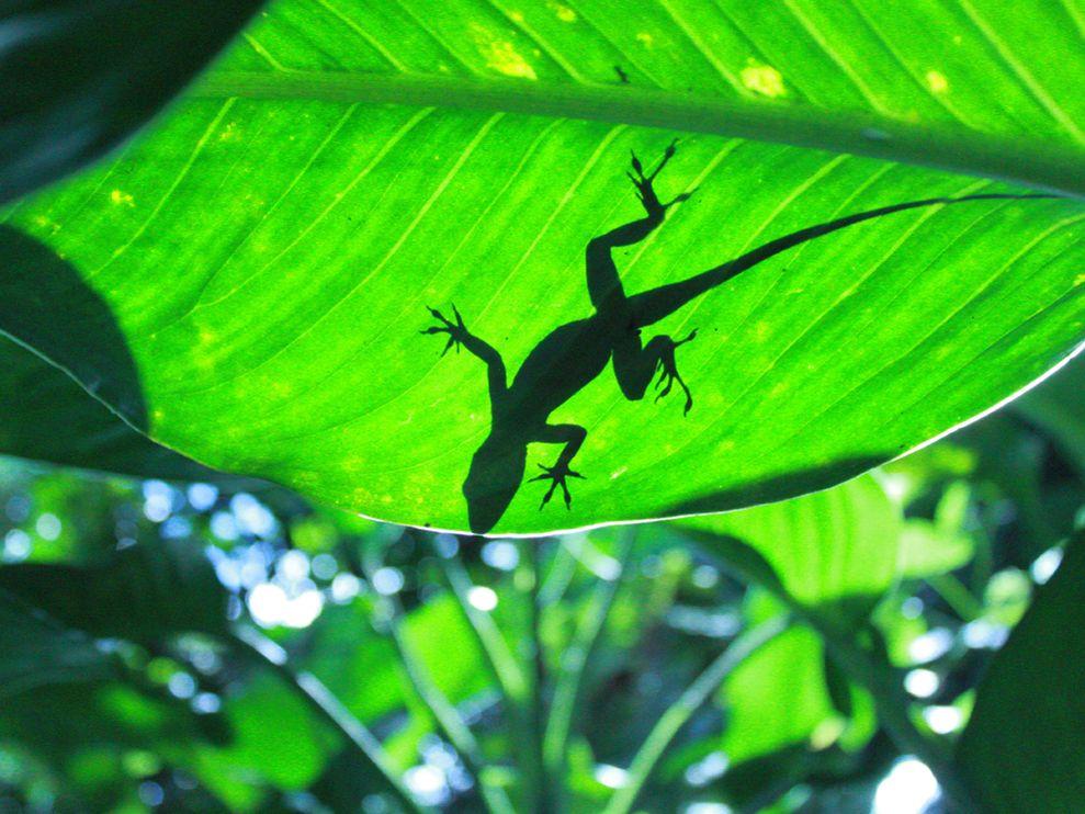 Photo A shadow of a lizard on a leaf 989x742