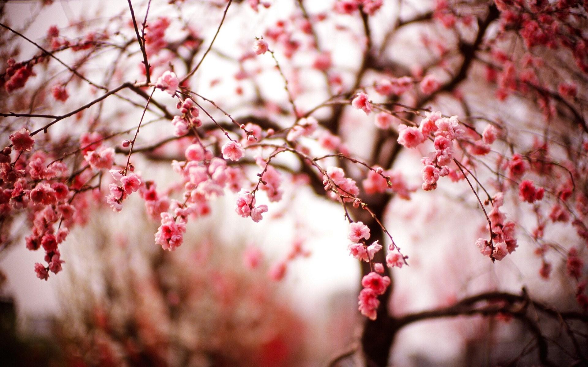 Beautiful Spring Cherry Blossom   Wallpaper High Definition High 1920x1200
