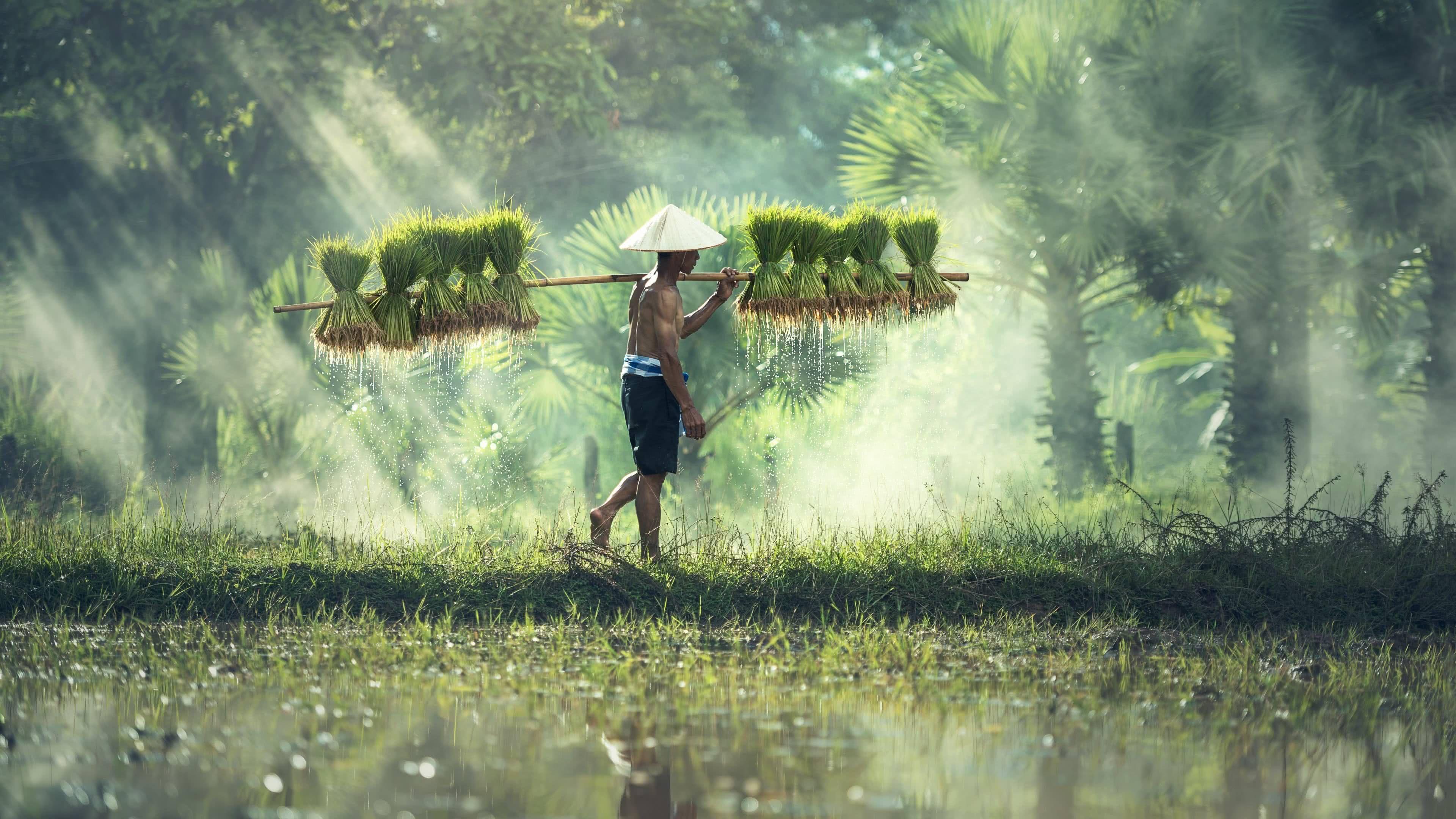 4k uhd cambodian rice farmer wallpaper Vit nam Vit Chu 3840x2160