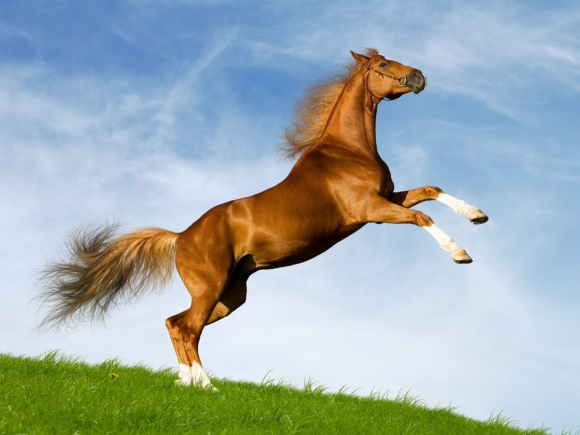 13 Amazing Horse Wallpapers HD   Tapandaola111 1152x864