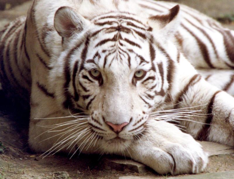 Kiliws Blog Bengal tiger   white 800x614