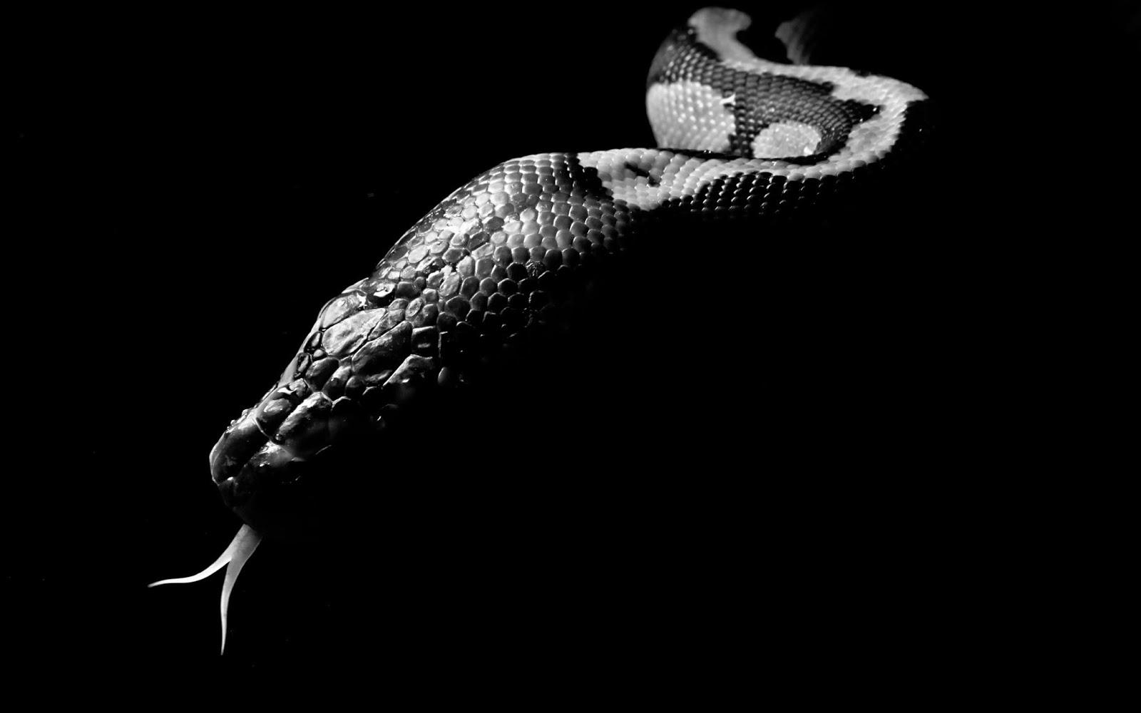 Hd Wallpaper Of Black Snake: Viper Snake Wallpaper