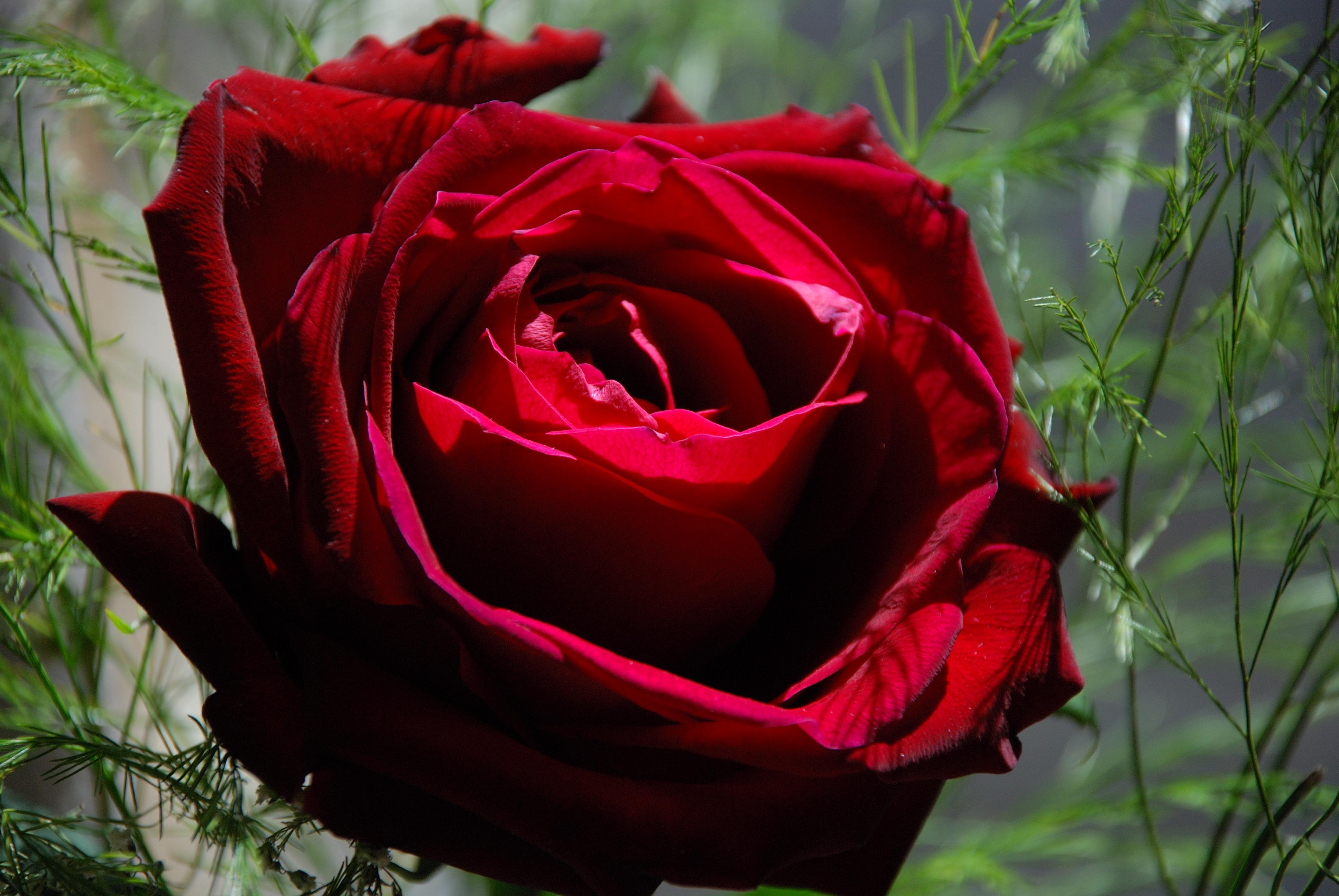 Dark Red Rose Wallpaper photos of Beautiful Red Rose HD Wallpapers by 3872x2592