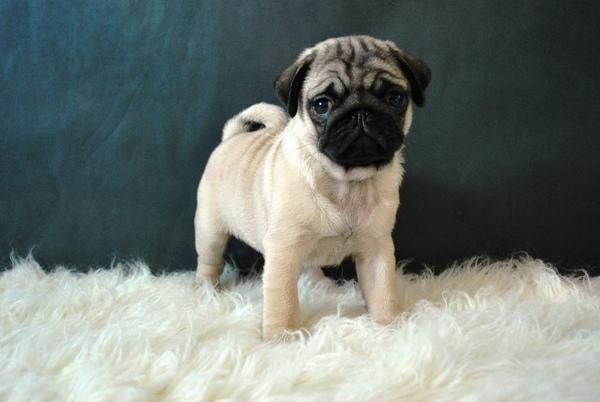 Pug Carlino Cachorros HD Wallpapers Pics 2013 All About HD 600x402