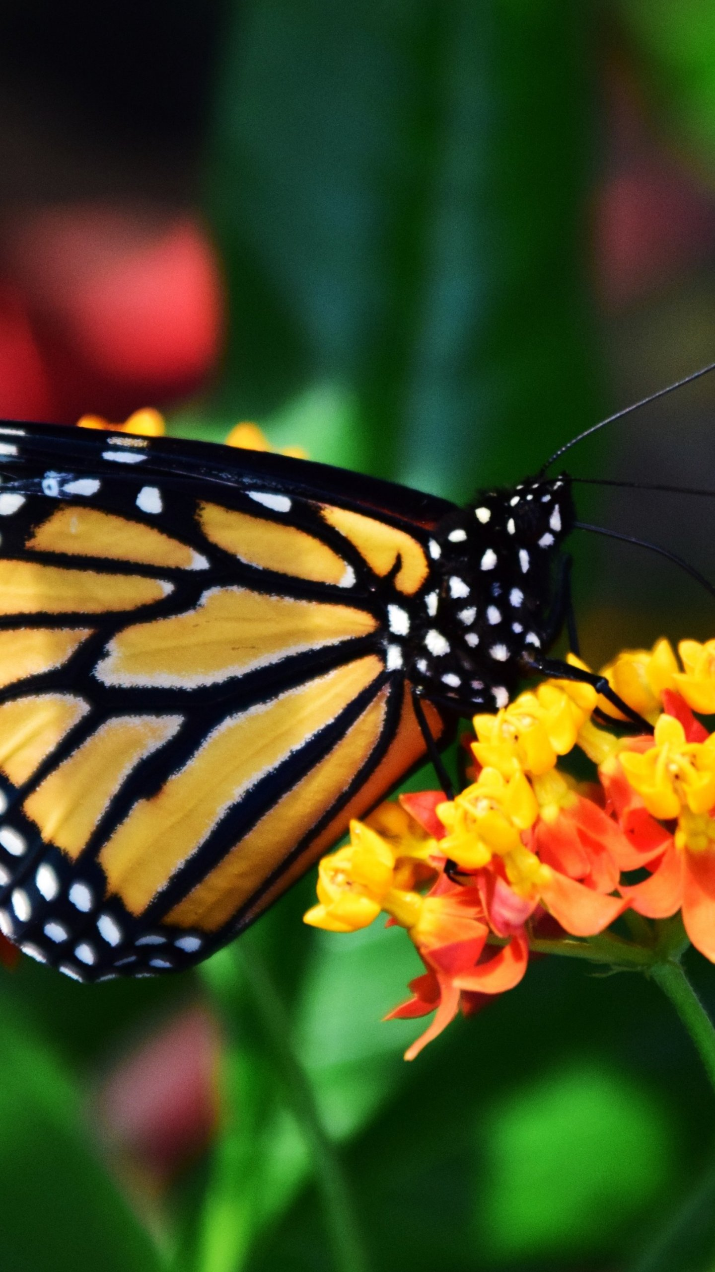 Monarch Butterfly Wallpaper   iPhone Android Desktop Backgrounds 1440x2560