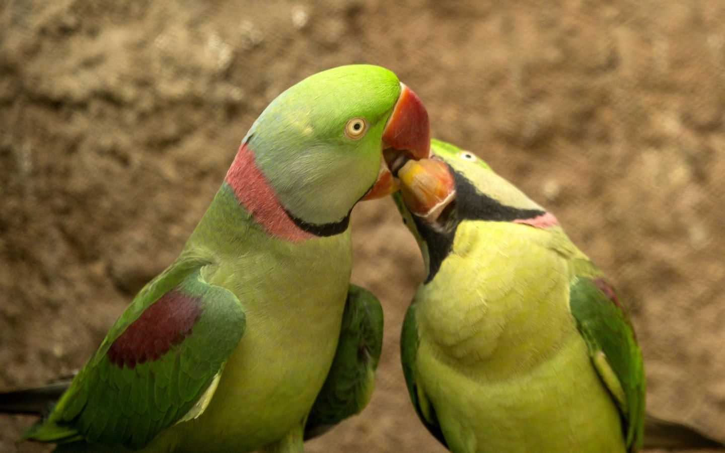 Parrot Birds Zoo Wildlife Photography HD Wallpaper and Background 1440x900