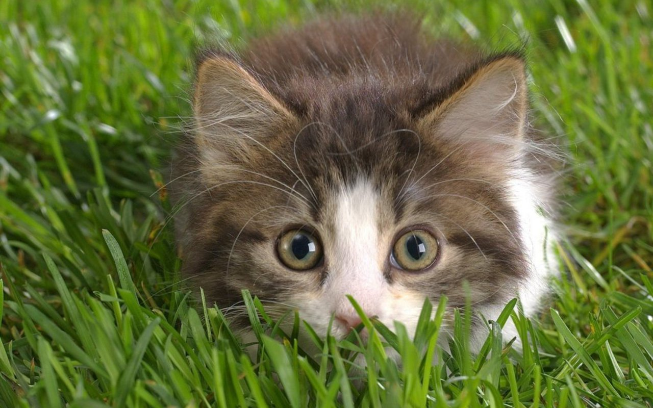 Cute Kitten   Kittens Wallpaper 16096139 1280x800