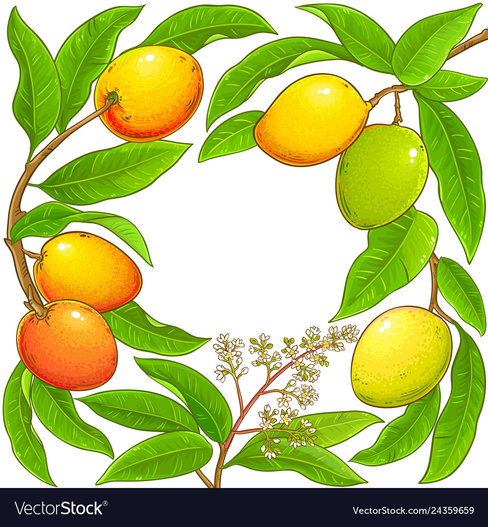 Mango branches frame on white background Vector Image 1000x1080