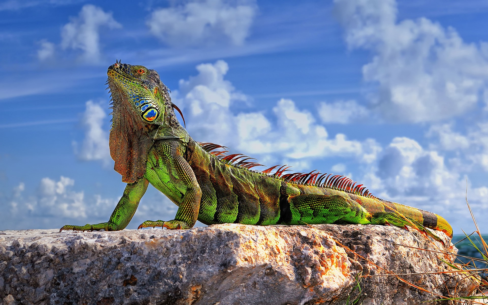 Iguanas images Iguana HD wallpaper and background photos 40692138 1920x1200