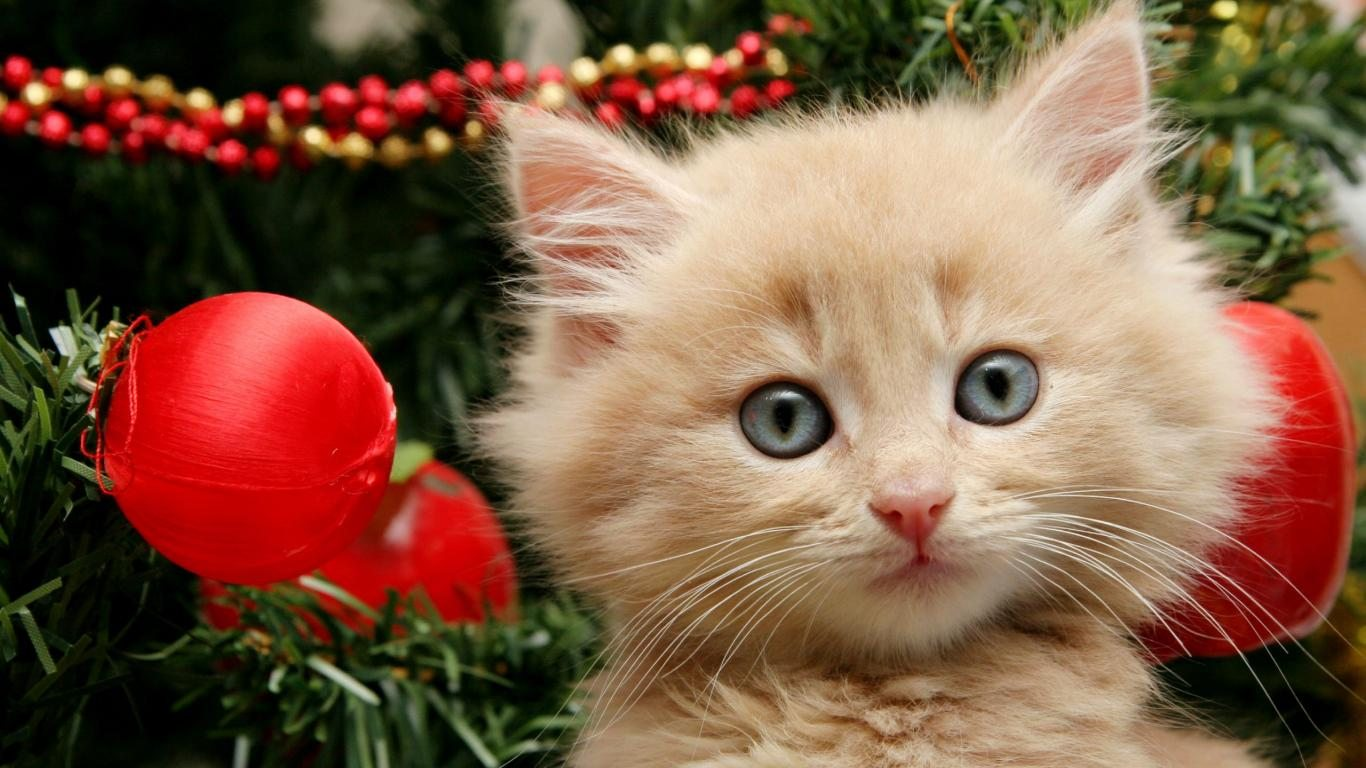 Beautiful persian at in christmas festival 1366x768