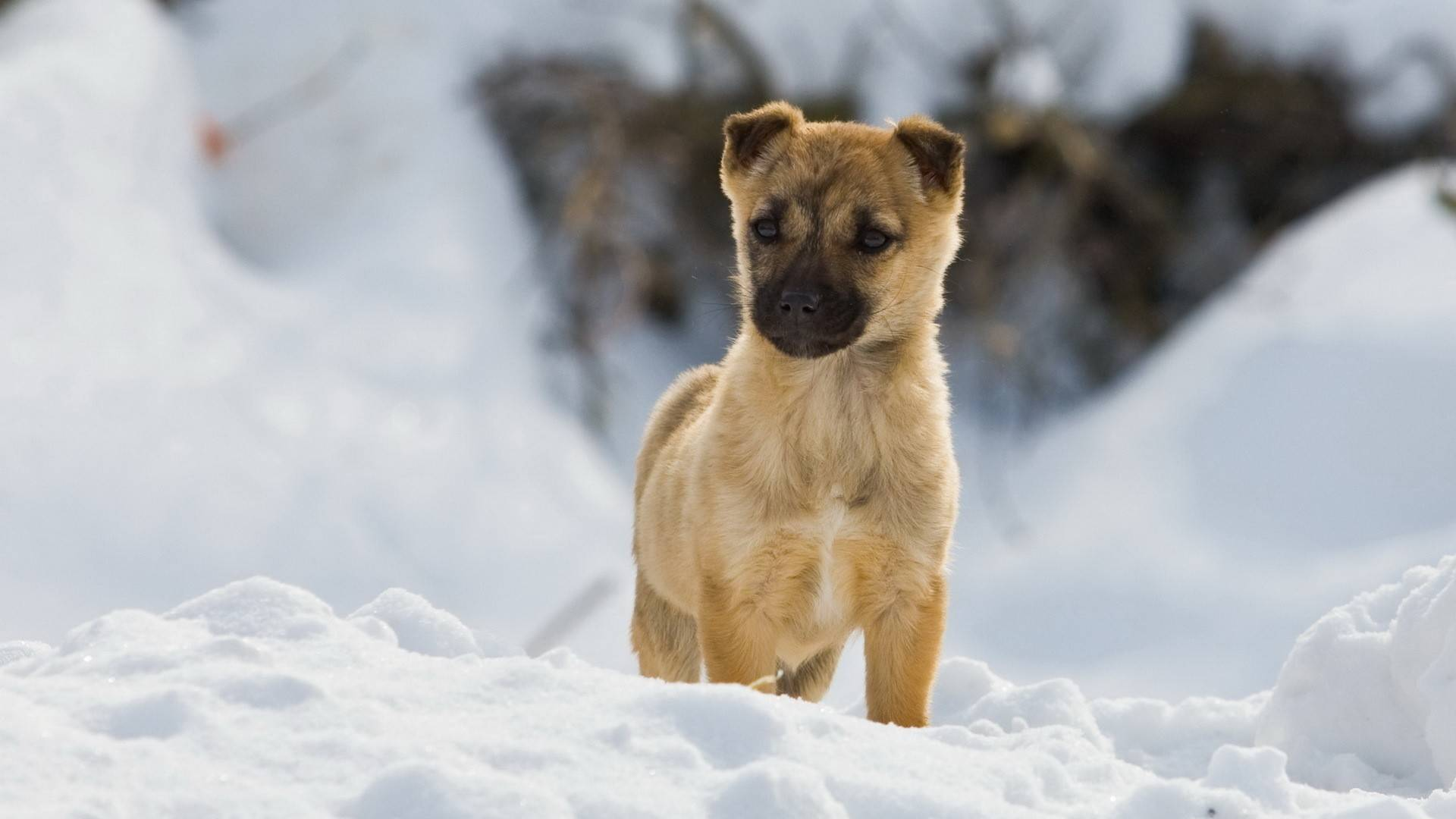 Puppy in the snow   Dogs Picture 1920x1080