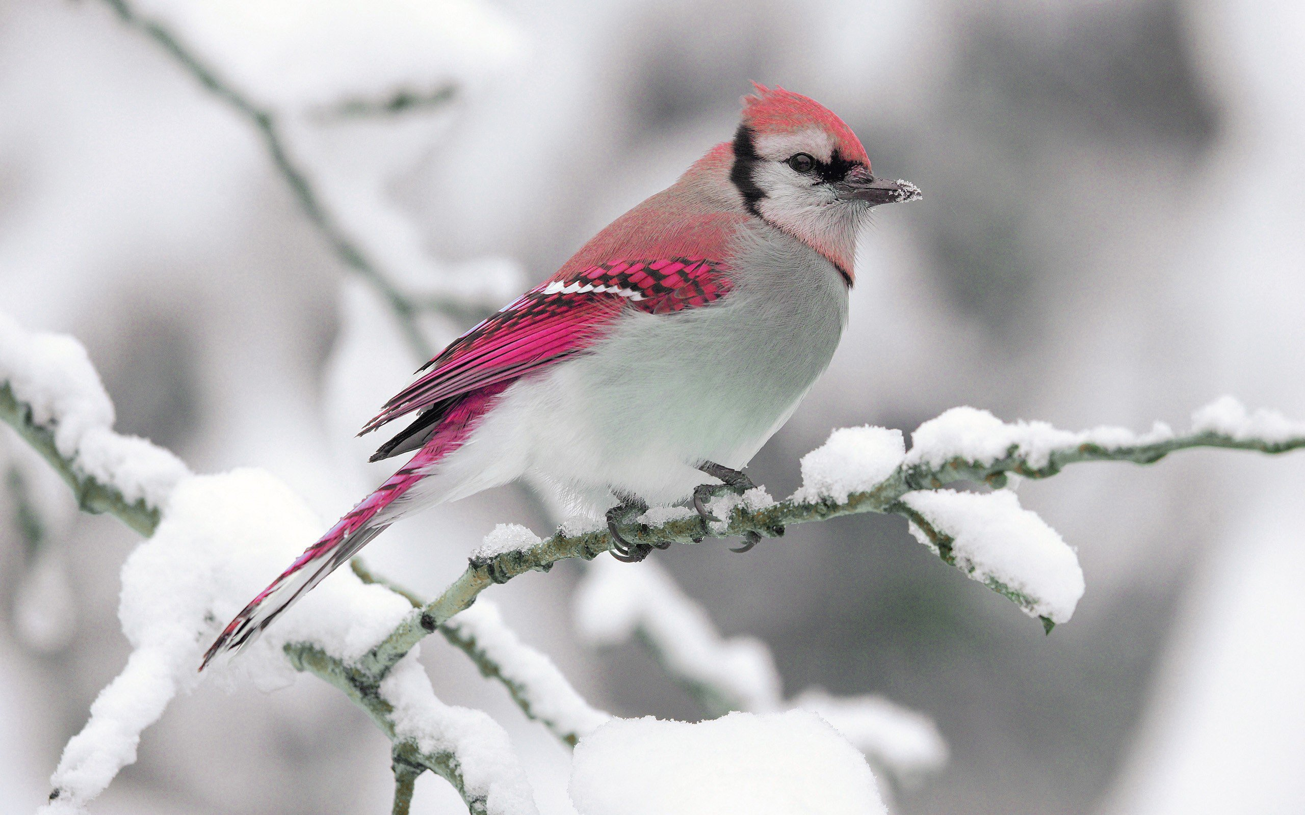 Nature winter bird snow branch wallpaper 2560x1600 309884 2560x1600