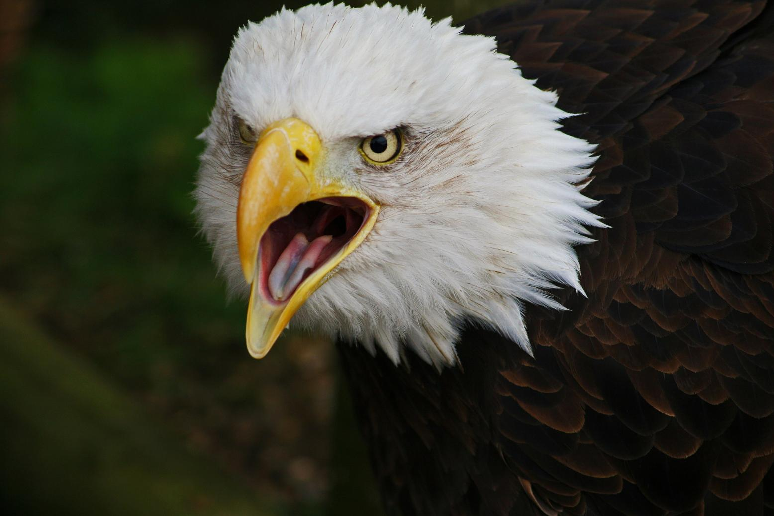 Bald Eagle Pictures Animal Spot 1556x1037