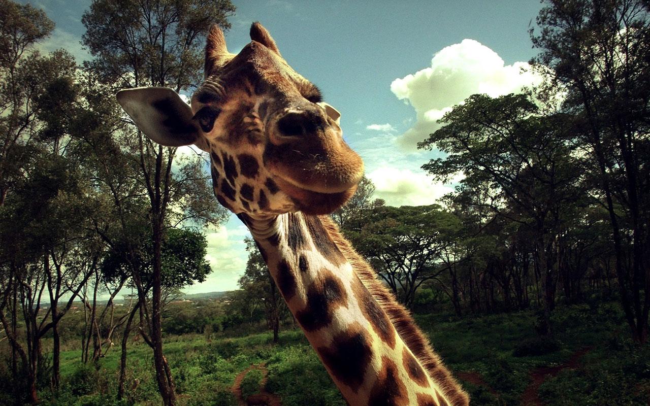 Жираф испугался  № 3895585 бесплатно