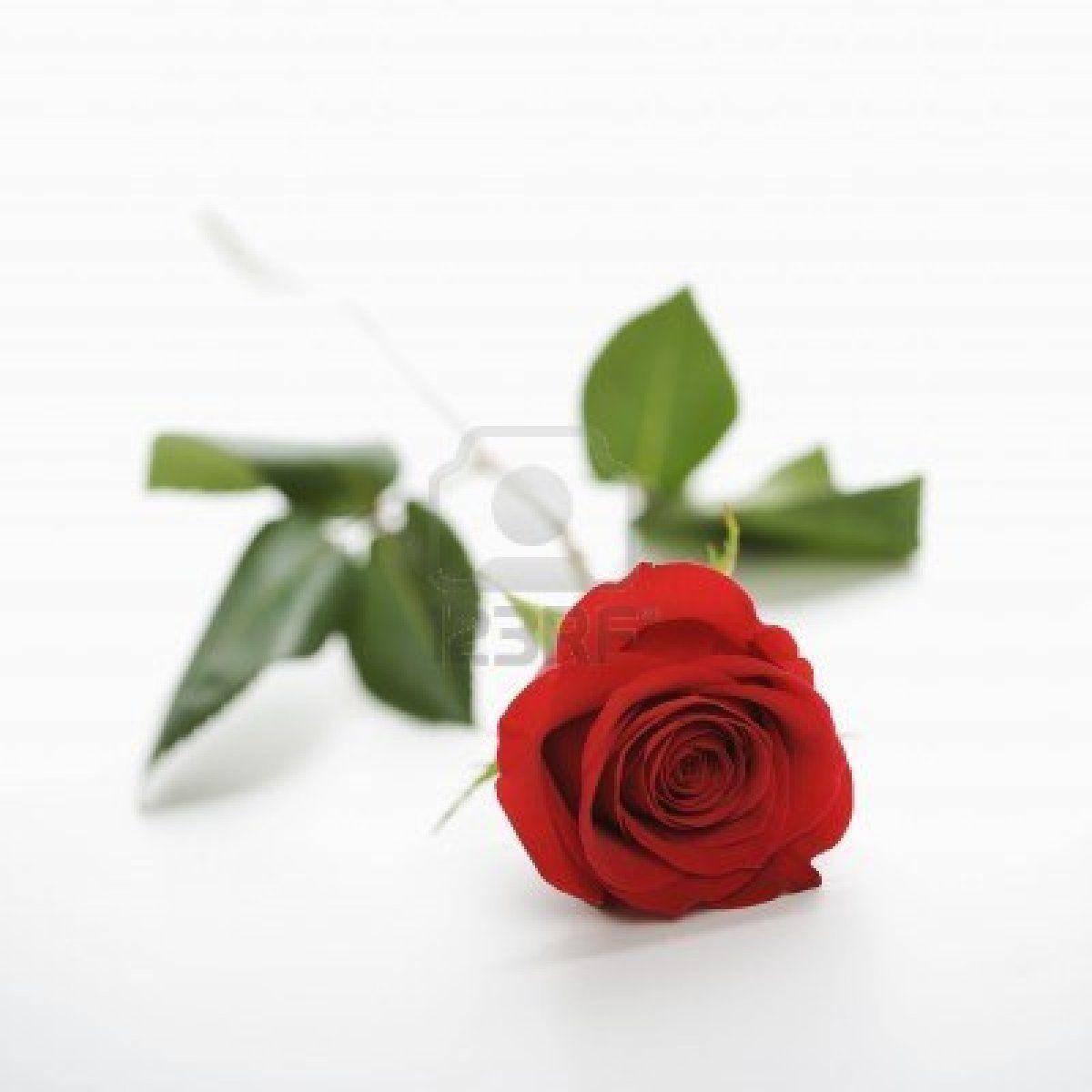 Red Rose With White Background Wallpapersafari